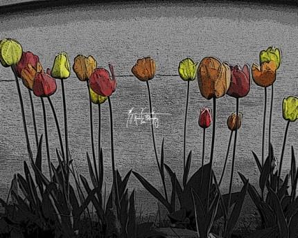 tulips photograph - kosekolorphotos